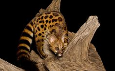 CAPE GENETGenetta tigrinaBurrard-Lucas Brothers | Smashing Picture The Cape Genet, also known as the Blotched Genet, Large-spotted Genet or muskeljaatkat in Afrikaans, is a carnivore mammal, related to the African Linsang and to the civets. It can be found in Africa from Senegal to Somalia, and south to Namibia and South Africa, though it is absent from the continent's south-western arid zones. Like other genets, it is nocturnal and arboreal. Similar in appearance to the Common Genet ...