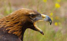 Mi águila real fotografiada por Sol de la Quadra-Salcedo