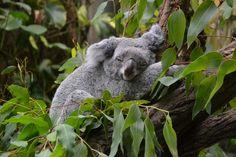 Koala - Zoo Duisburg DE - picture made by me: Wichita van Rijkom