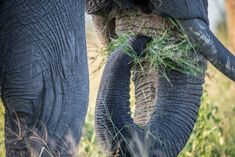 Close-up of an elephant eating grass with its trunk, in Chobe. Elephant Love, African Elephant, African Safari, What Do Elephants Eat, Elephants Never Forget, Elephant Eating, Keystone Species, Wild Nature