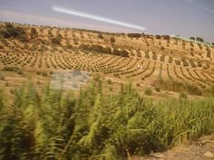 Olive Groves on the way to Granada