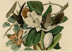 Audubon_-_black-billed_cuckoo_26x36_gmnroj