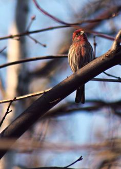 walking-geema: Winter House Finch
