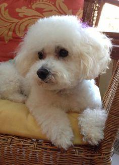 Petfinder Adoptable | Dog | Bichon Frise | Monroeville, PA | Maggie