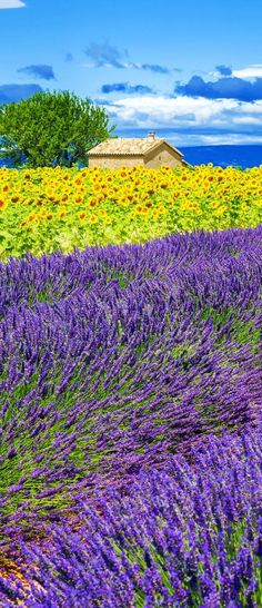 Scenic Lavender and Sunflower Field with Tree in Provence, France 13 Amazing Photos of Lavender Fields that will Rock your World Sunflower Fields, Lavender Fields, Lavander, Lavender Roses, Rose Flowers, Flowers Nature, Yellow Flowers, Beautiful World, Beautiful Places