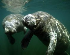 af3e1d08e Manatees. One day I promise myself that I will work with there's beautiful  creatures Weird