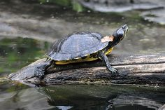 A Yellow-bellied Slider (Trachemys scripta scripta) basking on a log at Smithsonian National Zoological Park in Washington, D.C., USA.