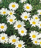 Silver Princess Shasta Daisy Seeds and Plants, Perennnial Flowers at Burpee.com // front beds? Sow from seeds