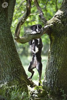 my dog attempting on being Tarzan, half ape, half boxer :-D