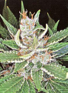 Sleestack Marijuana Strain Review and Photos