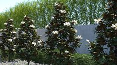 """Say """"magnolia"""" and most people envision large shade trees with fragrant blossoms that evoke the American south. Little Gem Magnolia Tree, Magnolia Grandiflora Little Gem, Magnolia Trees, Carolina Cherry Laurel, Magnolia Gardens, Foundation Planting, Shade Trees, Plant Sale, Fruit Trees"""