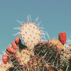 Ern-a-lern - lildubbz: Santa Fe cactus Cactus Planta, Cactus Y Suculentas, Jeff The Killer, Desert Aesthetic, Aesthetic Vintage, Prickly Pear Cactus, Desert Dream, Fallout New Vegas, Le Far West