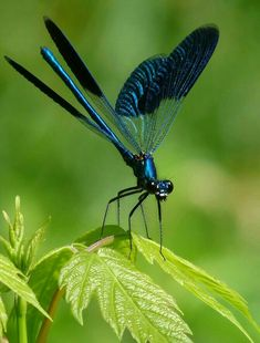 """Some-kinda Dragonfly (whatcha macallit) ~ Miks' Pics """"Arachnids and Insects l""""… Beautiful Bugs, Beautiful Butterflies, Beautiful Pictures, Beautiful Creatures, Animals Beautiful, Blue Dragonfly, Dragonfly Photos, Dragonfly Insect, Bugs And Insects"""