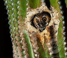 Elf Owl nesting in Cactus (Micrathene whitneyi) Stock Photo Elf Owl, Owl Photos, Birds Of Prey, Bird Art, Adorable Animals, Royalty Free Images, Owls, Fun Stuff, Arizona