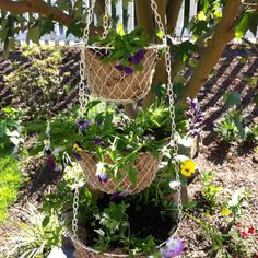 Here's an idea for a hanging fruit basket you don't want in the kitchen anymore. Just use burlap to hold the dirt and transplant viola's that have popped up in places you don't want them