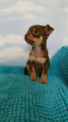 Coco Chihuahua | Pawshake