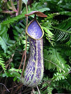 Nepenthes copelandii -- another carnivorous plant Weird Plants, Unusual Plants, Rare Plants, Exotic Plants, Tropical Plants, Strange Flowers, Unusual Flowers, Rare Flowers, Amazing Flowers
