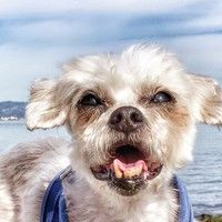 Cute Muttville mutt: Mister Banks 2759 (Maltese | Male | Size: small (6-20 lbs)) Age: 10 years