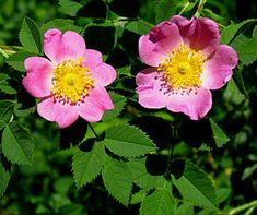 Rosa carolina, Carolina rose, Pasture Rose, or low rose. flowers and leaves. Native Rose, Sandy Soil, Rose Family, Growing Roses, Small Rose, Down South, Native Plants, Blue Bird, Pink Flowers