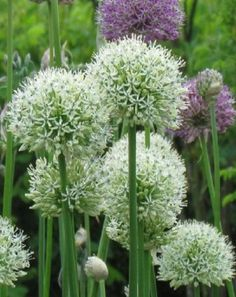 Allium Mount Everest has large round heads with up to 50 tightly packed star shaped flowers. These allium bulbs look superb under planted with hostas and mixed with perennial plants; the flower size is around cm. Planting Bulbs, Plants, White Gardens, Garden Catalogs, Allium Giganteum, Allium, Perennial Plants, White Plants, Romantic Garden