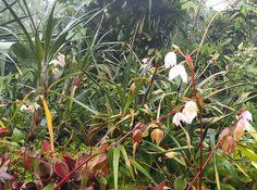 Lots of #Heliamphora were in flower at #atlantabotanicalgardens #plants #garden #pitcherplant #carnivorousplant #Heli #flowers #atlanta by natchgreyes