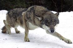 Visit WolfGifts.com for more cool wolf photos.