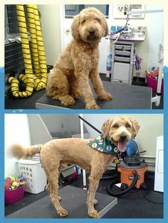 Goldendoodle Before & After Haircut! D Grover Doodle