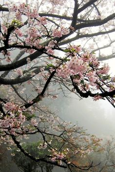 Misty Spring Blossoms #spring #pink #flowers #flowering_tree