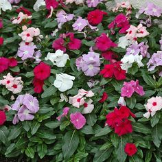 """Look around.  If there's a big swath of color you see thriving in someone else's yard right now, then there's a good chance it's Annual Vinca.  With so many colors to choose from and its love for hot, dry and humid climates, the question to ask yourself is """"why did I overlook this one?"""""""