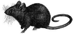 Les zoonoses transmissibles du rat à l'homme : CONSEILS en officine. Thèse de pharmacie de Juif Marylène en 2011