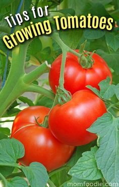 Pin by Henry Jose Caravaca Alvarado on frutas y verduras . Fruit And Veg, Fruits And Vegetables, Fresh Fruit, Tips For Growing Tomatoes, Growing Tomatoes In Containers, Grow Tomatoes, Fruit Plants, Fruit Trees, Tomato Garden