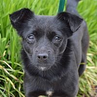 Springfield, MA - Chihuahua. Meet Annica-ADOPTED a Dog for Adoption.