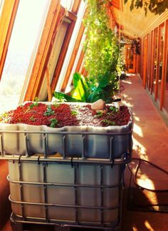 Earthships and Aquaponics getting together!    This system was built by James Fry, an Earthship Academy student from 2012, as his independent field study.    The tank contains about 175 gallons of water with a growing bed of Hydroton (clay pellets) media on top.    There are 21 fish in the tank, which are a unique species of Carp commonly found in New Mexico.    This system has produced tomatoes, broccoli, basil, peppers, parsley and lettuce!