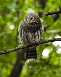 fairy-wren: pearl-spotted owl (photo by Beautiful Owl, Animals Beautiful, Cute Animals, Owl Photos, Owl Pictures, Elf Owl, Spotted Owl, Owl Head, Nocturnal Birds