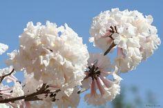 Ipê-branco (Tabebuia roseo alba)