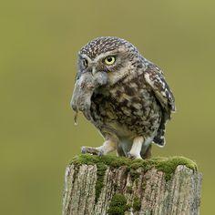 cc Little Owl Owl Photos, Owl Pictures, Little Owl, Little Birds, Owl Bird, Pet Birds, Beautiful Birds, Animals Beautiful, Reptiles