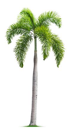 Products & Services: Fox Tail Palm - Tree Guys Melbourne Florida