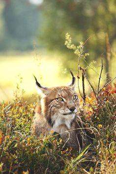 Lynx Animals And Pets Wild Animals Cute Animals Big Cats Beautiful
