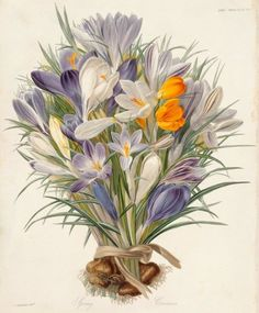 'Spring Crocuses' ( plate from Transactions of the Horticultural Society ). 1830. After Charles John Robertson . Image and text courtesy MIA.