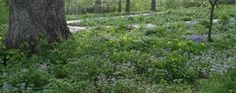 Native Landscaping for the Home Gardener