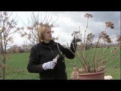 La potatura delle ortensie: l'hydrangea macrophylla - YouTube