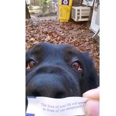 #puppy #dog #puppylove #internationalpuppyday #pet  This is not my dog; I will spare you yet another pic of my Maltese napping (he's 11 years old). His fleas get more action. But today is International Puppy Day and this picture of this black lab and his owner's prescient fortune cookie--- pretty much sums it up between me and my dog.
