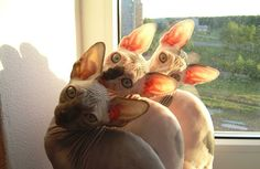 Sphynx cats. I'm not sure I would really want one as there is other pets I would like to have but they are very cute.