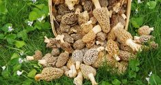 The Real Way to Grow Morel Mushrooms [VIDEO]