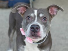 TO BE DESTROYED - 12/01/14 SUPER URGENT 11/21/14 Brooklyn Center   AIKO - A1021294   FEMALE, GRAY / WHITE, PIT BULL MIX, 8 yrs OWNER SUR **$150 DONATION to the NEW HOPE RESCUE that pulls!** - EVALUATE, NO HOLD Reason MOVE2PRIVA  Intake condition EXAM REQ Intake Date 11/21/2014, From NY 11207, DueOut Date 11/21/2014,  https://www.facebook.com/Urgentdeathrowdogs/photos/a.611290788883804.1073741851.152876678058553/911037635575783/?type=3&theater
