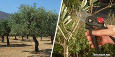 Πώς Κλαδεύεται η Ελιά για Καρποφορία & για Διαμόρφωση του Σχήματός της! - share24.gr Pruning Shears, Garden Tools, Home And Garden, Nature, Flowers, Plants, Outdoor, Gardening, Jars