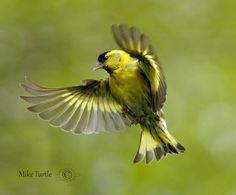 Siskin in flight by Mike Turtle - Photo 131930497 - 500px