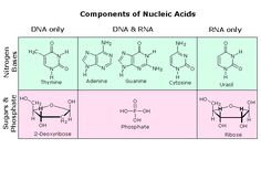 Nucleic acid's polymers