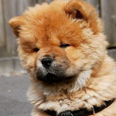 Lovely little Moos #chowchow #chowlife #instachow #puppy #cutepuppyclub #cuteanimals #dogs_of_world_ #dogoftheday #instagramdogs #mydogiscutest #adorimals #animalsaddict #lion #bear #fluffy #lacyandpaws #instapet #instapuppy by chow_chow_moos