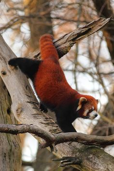 I drew a picture of a red panda once when I was little, they are so cute! Almost like a jungle fox.